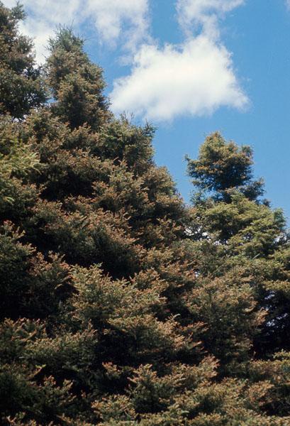 Spruce coneworm