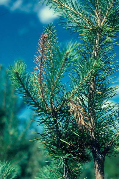 Eastern pine shoot borer