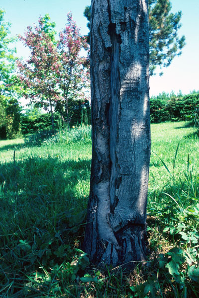 Sugar maple borer