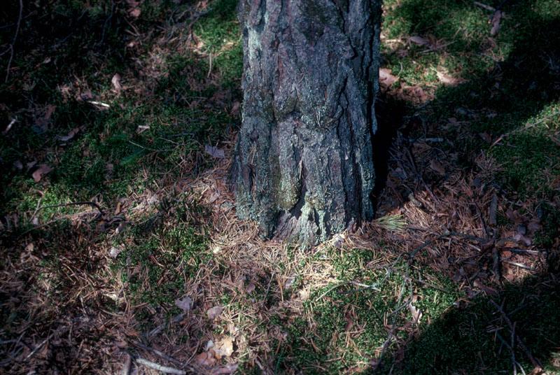 Warren root collar weevil