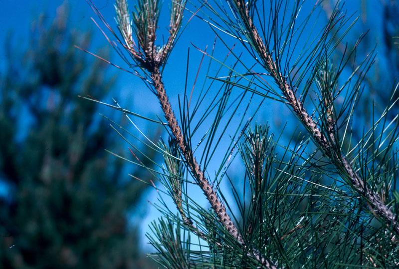 Red pine needle midge