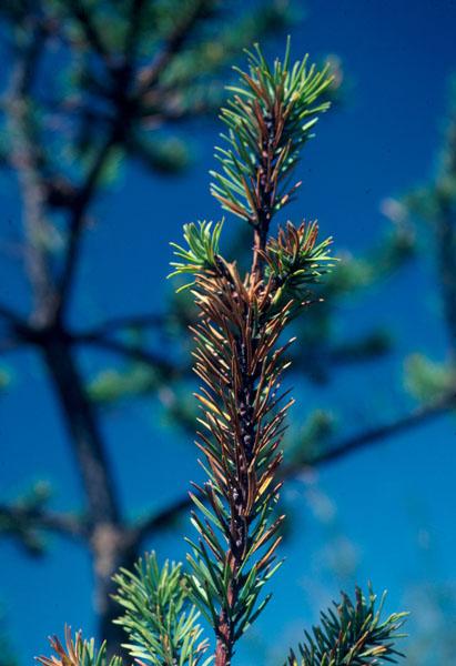 Pine tortoise scale