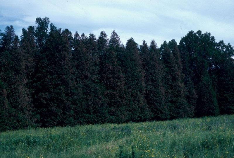 Arborvitae leafminer