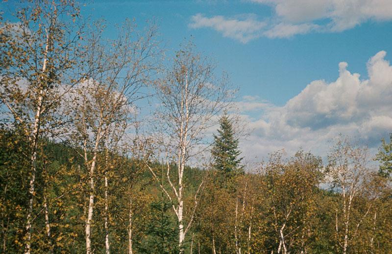 Birch skeletonizer