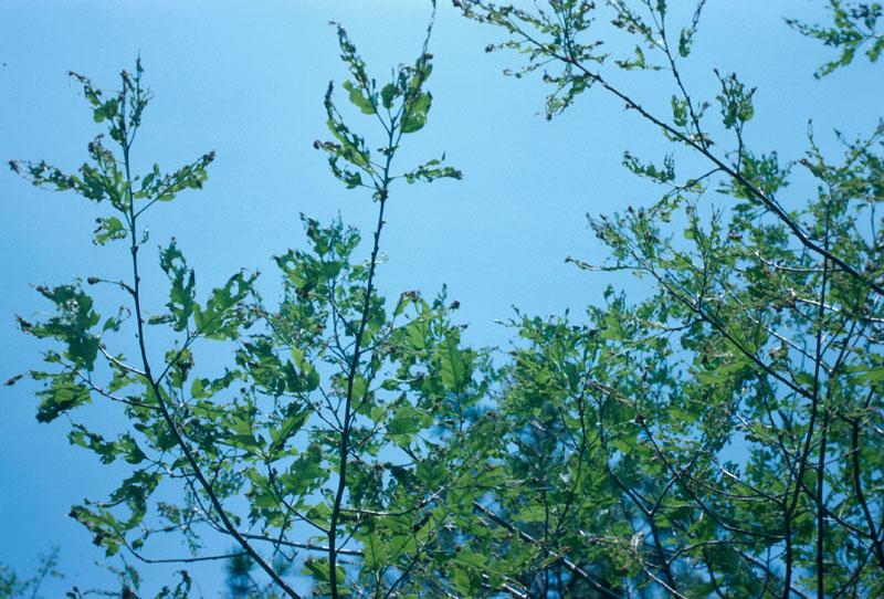 Oak leafshredder