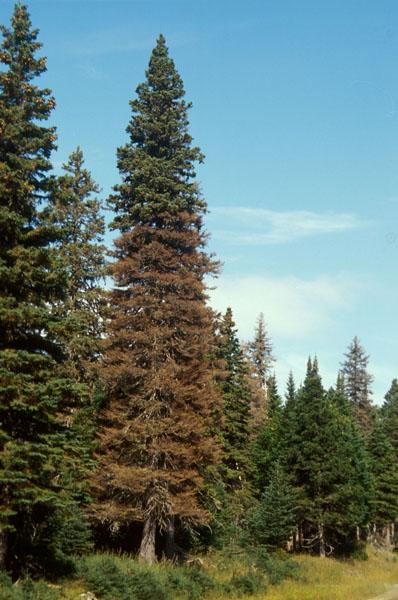 Spruce beetle