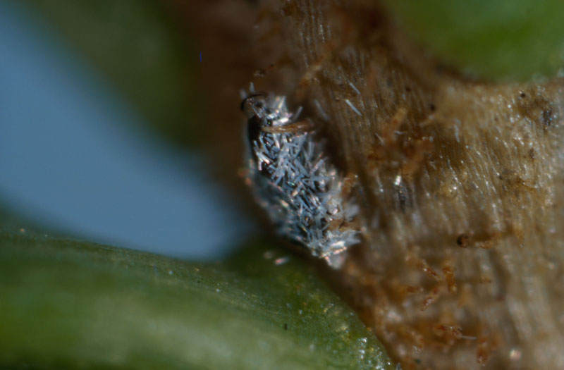 Balsam twig aphid