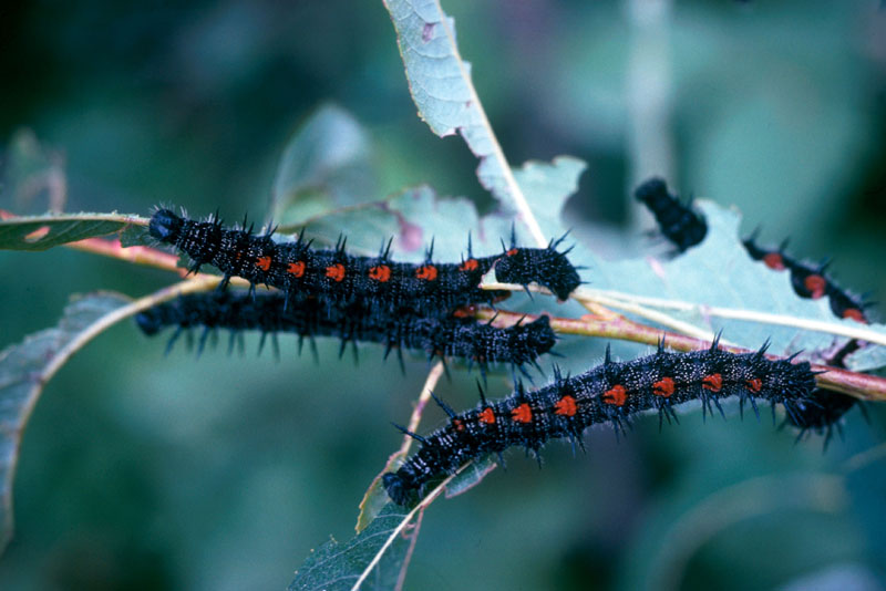 Mourningcloak butterfly or spiny elm caterpillar - Larvae on a willow twig