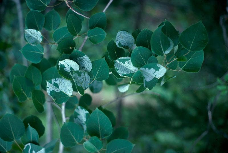 Aspen serpentine leafminer