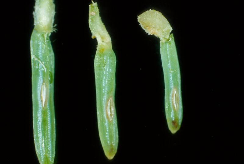 Yellowheaded spruce sawfly