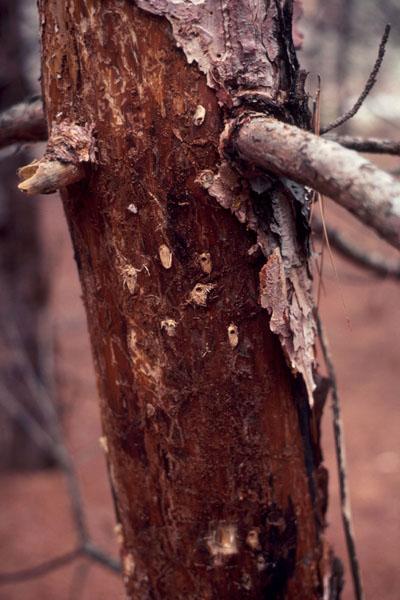 Northern pine weevil