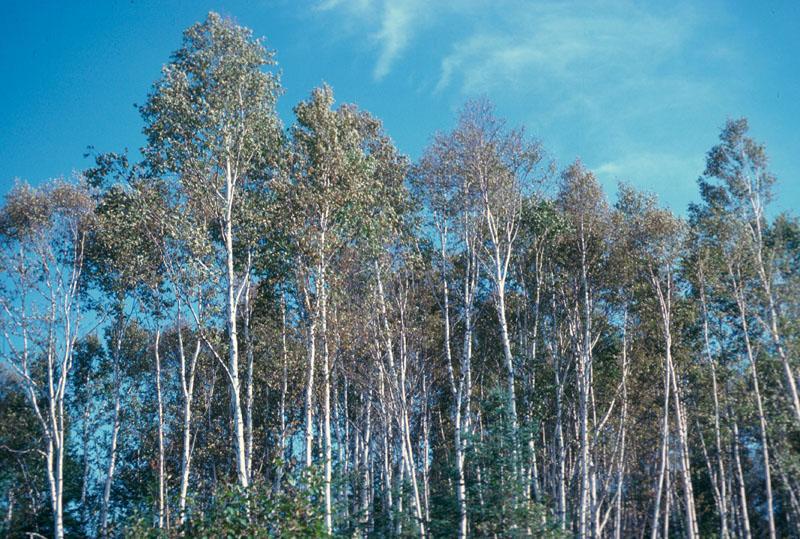 Ambermarked birch leafminer