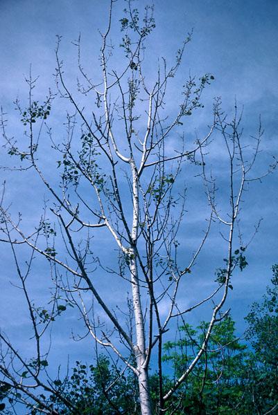 Poplar borer