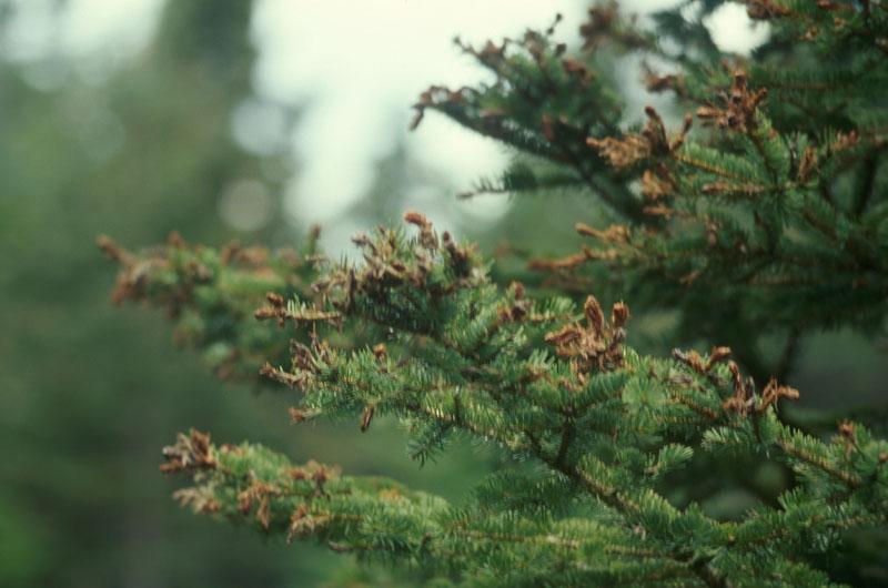 Spruce bud moth