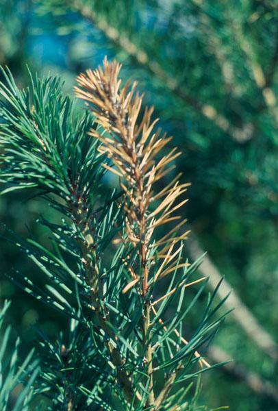 Eastern pine shoot borer