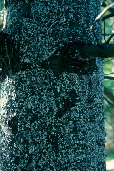 Pine bark adelgid - Eastern white pine trunk covered with white woolly substance secreted by adelgids