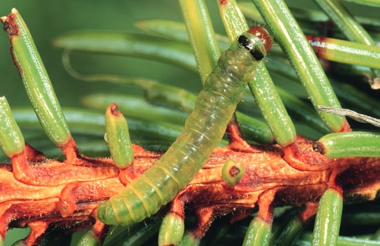 Western blackheaded budworm - Dorsal view of mature larva, on Engelmann spruce