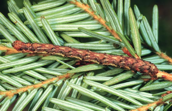 Gray spruce looper - Dorso-lateral view of mature larva, on western hemlock