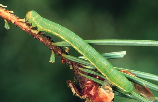 Yellowlined forest looper - Lateral view of mature larva
