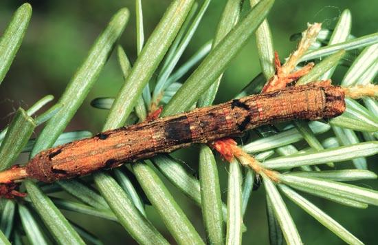 Saddleback looper - Dorsal view of mature larva on western hemlock