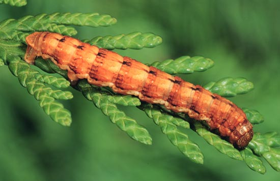 <em>Enypia&nbsp;venata</em> - Lateral view of mature larva (rust morph), on western redcedar