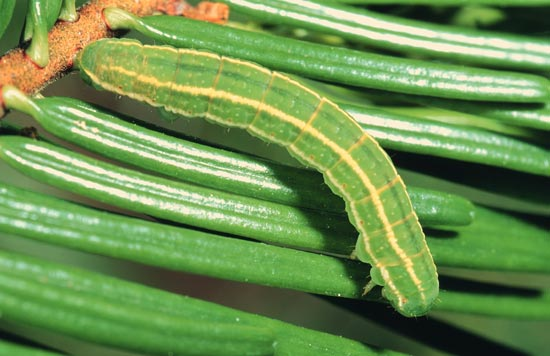 Green velvet looper - Dorsal view of mature larva, on grand fir