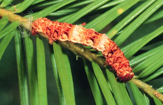 - Dorsal view of mature larva