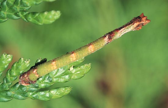 Common emerald - Dorso-lateral view of mature larva, on eastern white-cedar