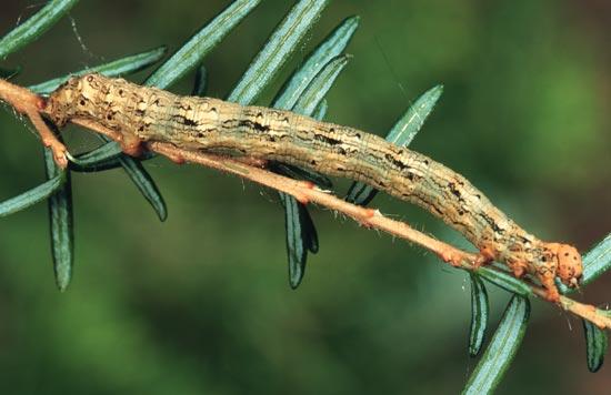 Western hemlock looper - Lateral view of mature larva on western hemlock.