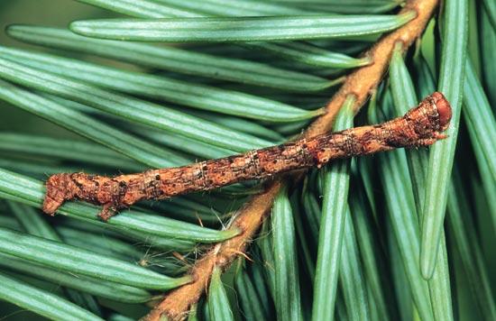 Brownlined looper