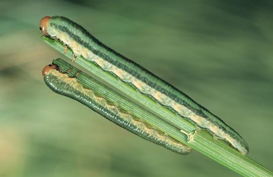 - Penultimate instar larvae feeding on ponderosa pine needle