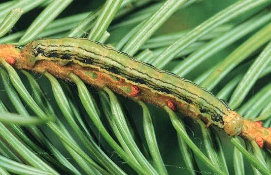 Western false hemlock looper