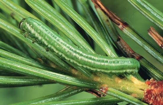 Greenheaded spruce sawfly