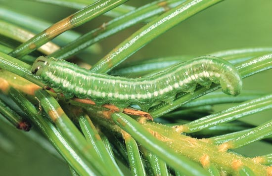 Greenheaded spruce sawfly - Lateral view of mature larva, on Engelmann spruce