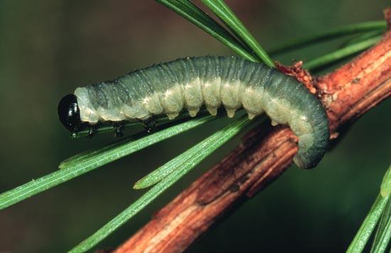 Larch sawfly