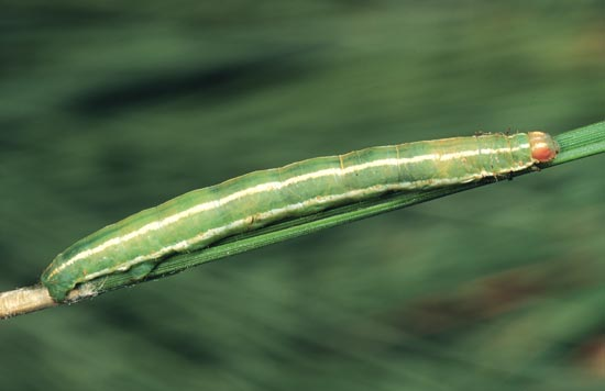 <em>Sabulodes&nbsp;edwardsata</em> - Dorso-lateral view of mature larva, on ponderosa pine