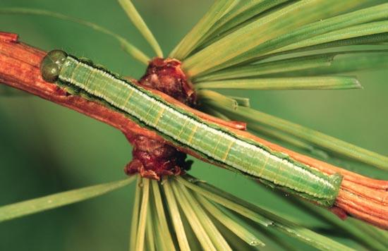 Green larch looper - Dorsal view of mature larva (green morph), on western larch