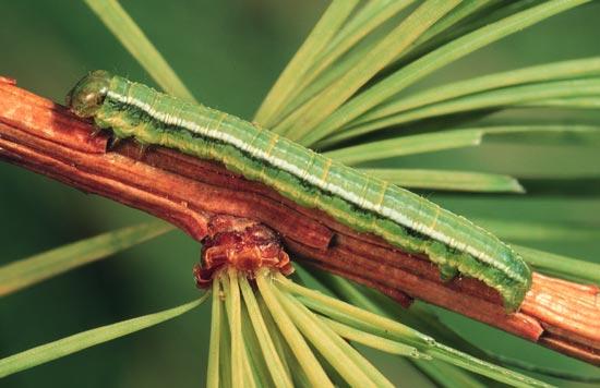 Green larch looper