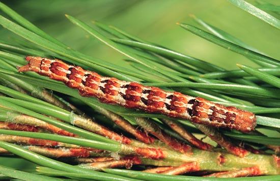 Pine zale - Dorsal view of mature larva (rusty brown morph), on lodgepole pine