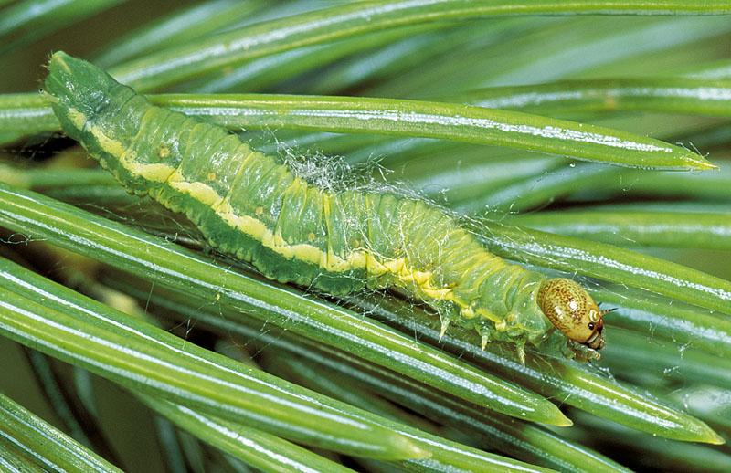 Greenstriped webspinning sawfly