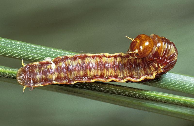 Upright webspinning sawfly