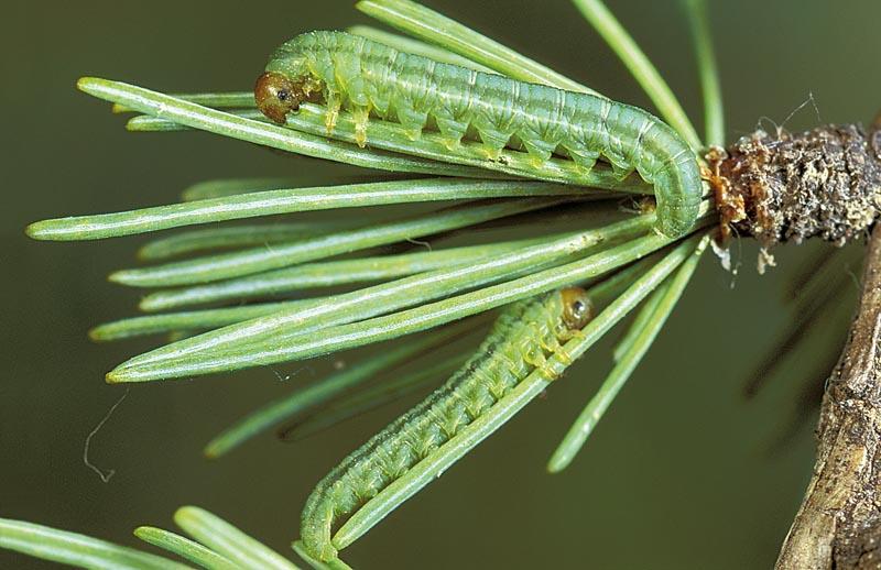 Threelined larch sawfly