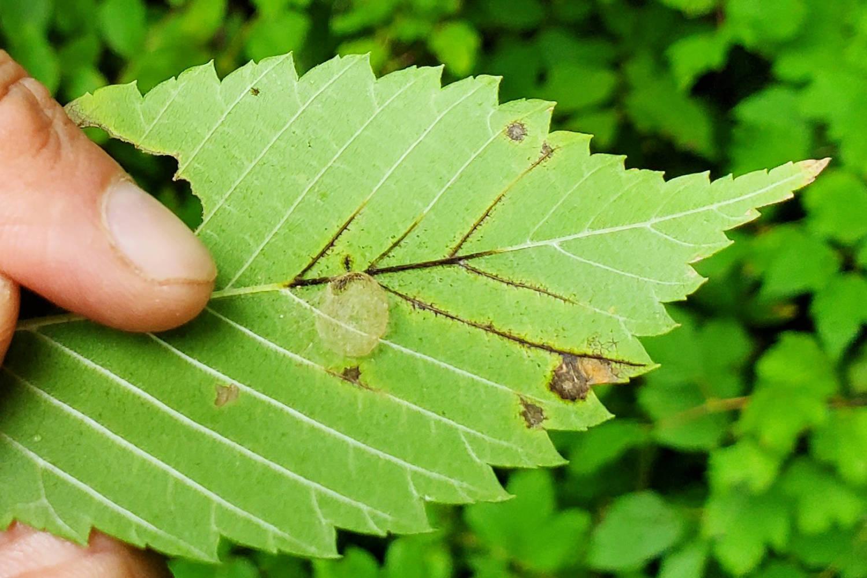 Elm zigzag sawfly