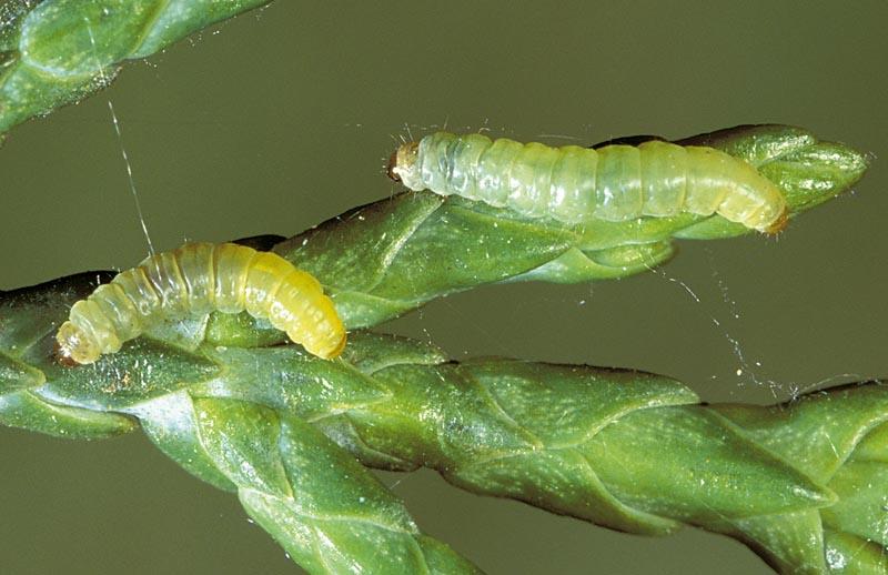 Cypress tip moth
