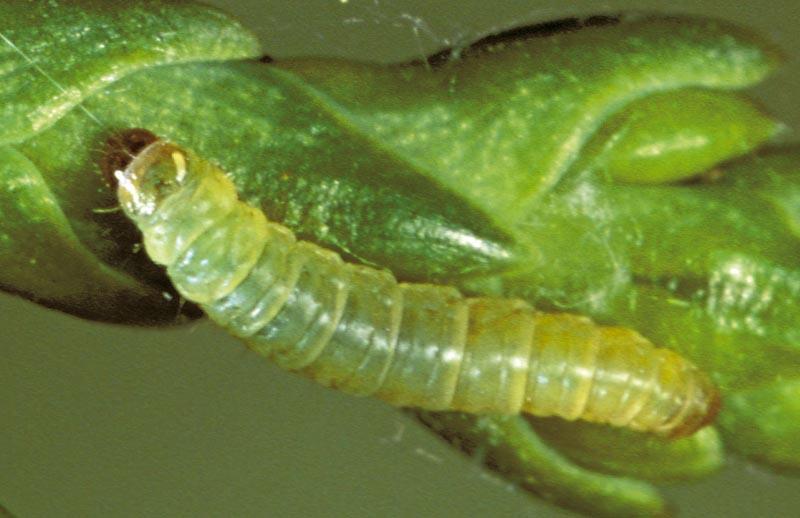 Cypress tip moth -