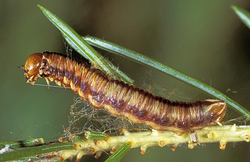Spruce webspinning sawfly -
