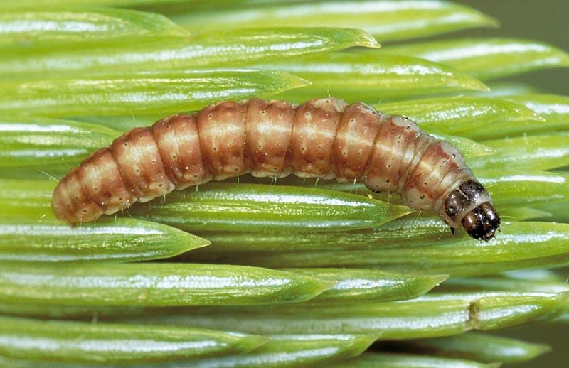 Gelechiid moth -