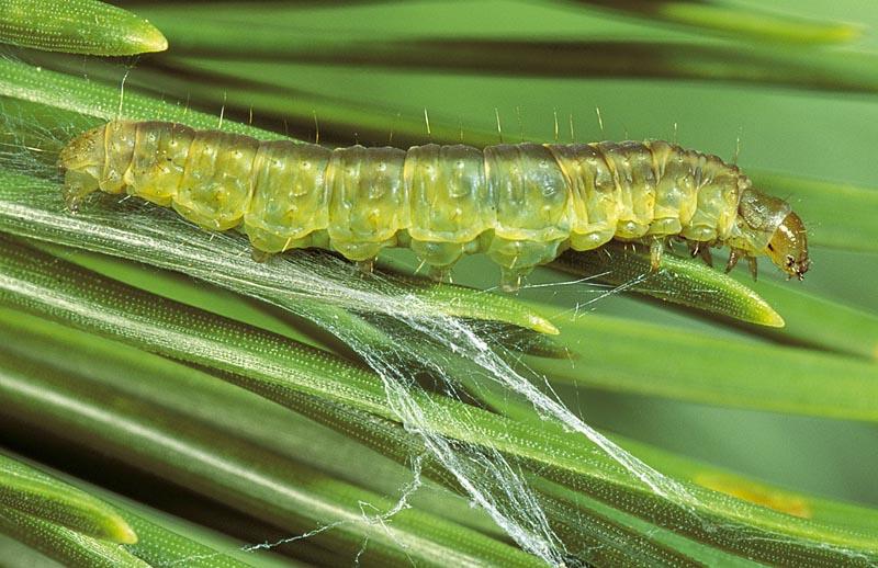 Whitetriangle leafroller