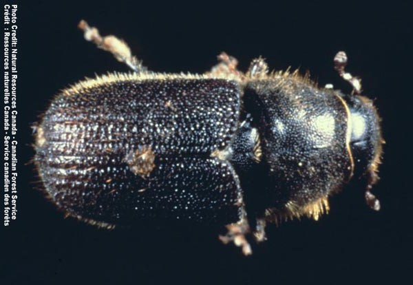Mountain pine beetle -