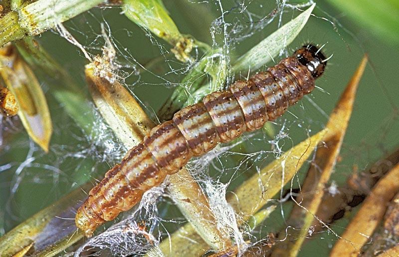 Juniper webworm -